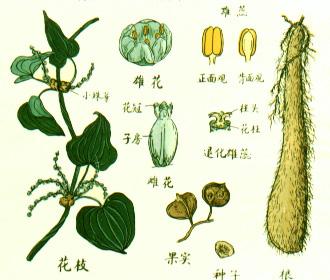 山药原植物图